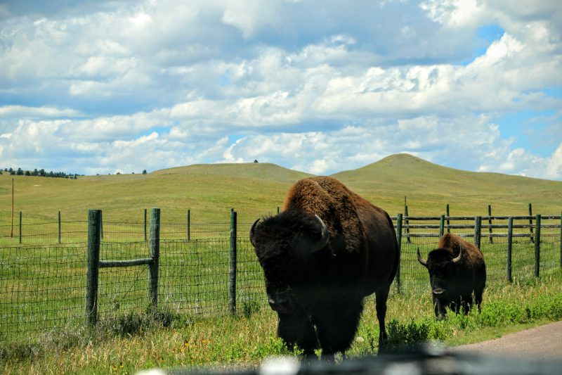 wildlife loop road with bisons custer state park