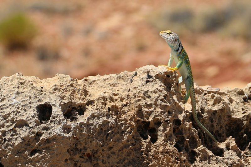 Reptielen in Amerika