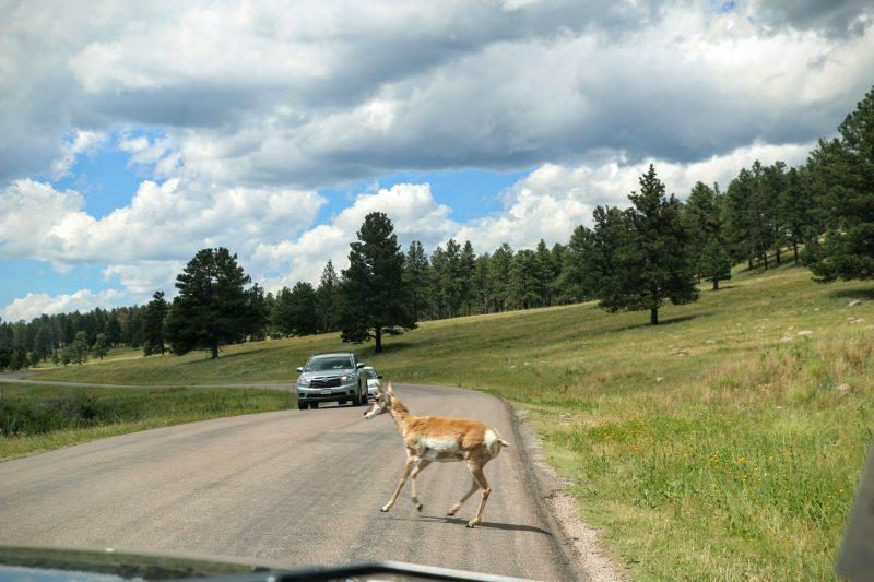 Dieren in Custer State Park